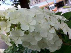 東京ミッドタウンのカシワバアジサイ(Hydrangea, Hinokicho Park, Tokyo-Midtown, Tokyo, Japan)