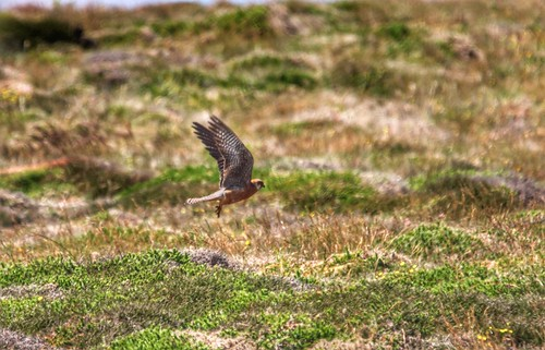 """Red-footed Falcon, Porthgwarra, 28.06.14 (M.Gatland) • <a style=""""font-size:0.8em;"""" href=""""http://www.flickr.com/photos/30837261@N07/14533298215/"""" target=""""_blank"""">View on Flickr</a>"""