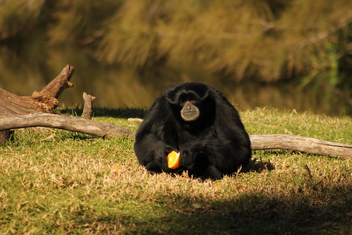 Siamang Monkey: Western Plains Zoo