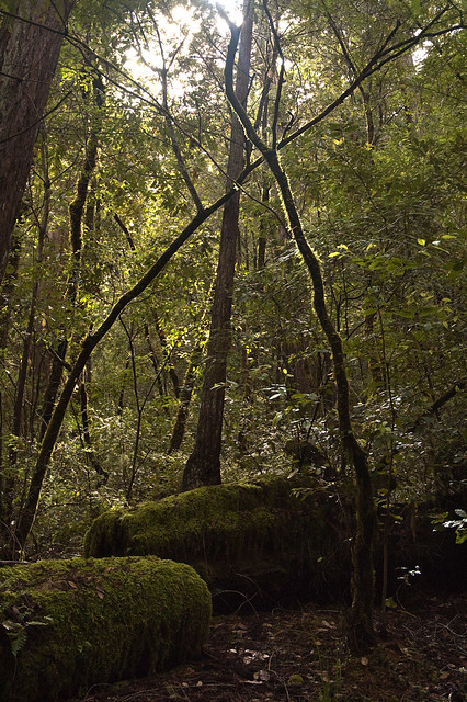 Big Basin Crossing Trees