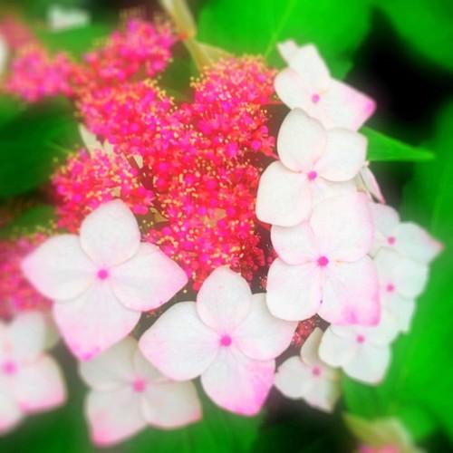 GDMorning ! (^O^☆♪ 今日は、紫陽花祭りだね、私も参加しよっ! みなさんの写真楽しみにしてまーす! #アジ祭 #紫陽花 #flower