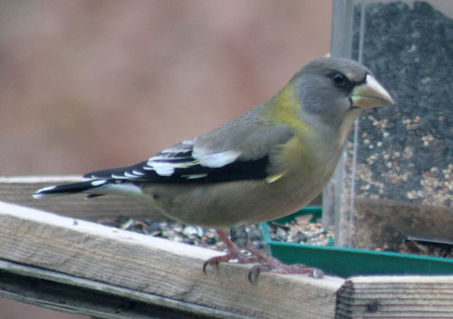Evening Grosbeak female