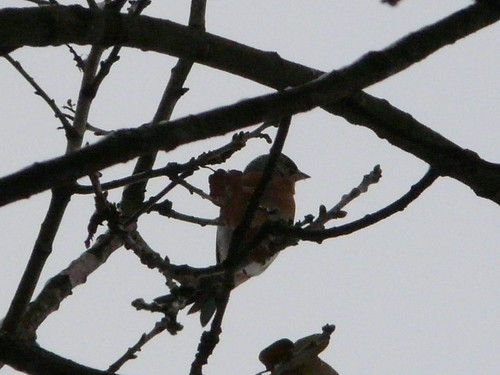 Brambling (record shot)