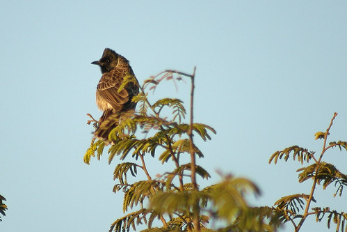 ReD vented bulbul spotted at manchanebele