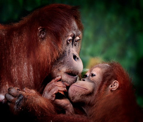 Sharing Confidences, Orangutang, Toronto ZOO