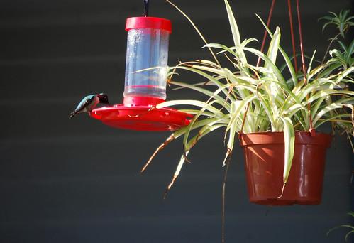 anna's hummingbird?