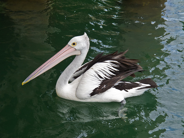 Pelican at Mandurah