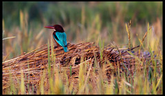 White Throadted Kingfisher (Embedded Image Inside)