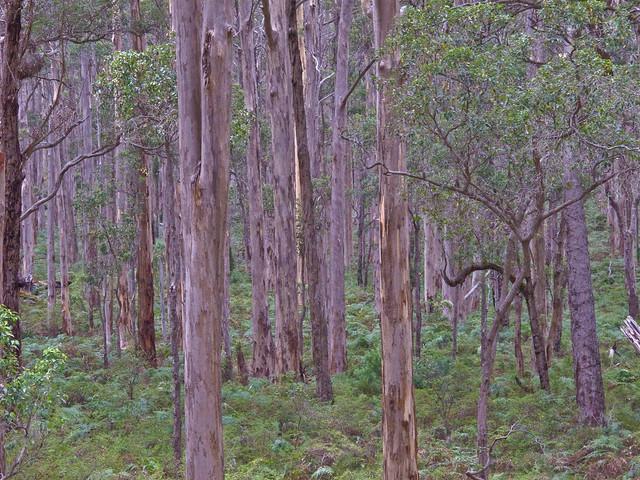 Karri forest south of Margaret River