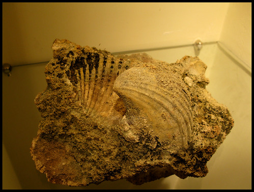 Conchiglie fossili (Fossil shells) by [Piccola_iena]