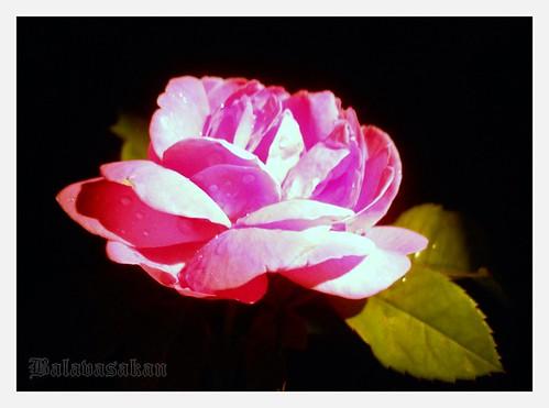It's Rose season here !! by Balavasakan