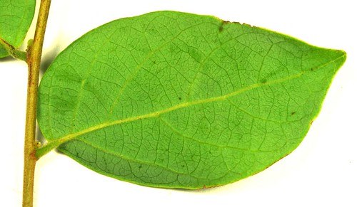 Glochidion benthamianum