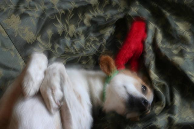 boonie dog wiggling, wearing reindeer ears