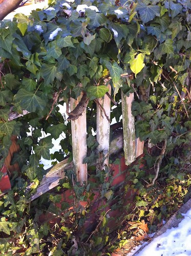 ivy fence