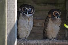 Malaienkäuze im Hamerton Zoo Park