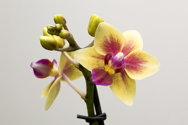 Phalaenopsis NOID Yellow-Pink