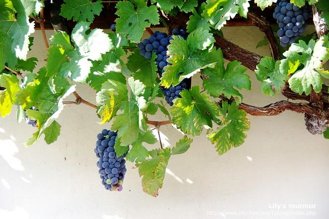 老葡萄藤上的葡萄,看起來好可口啊...