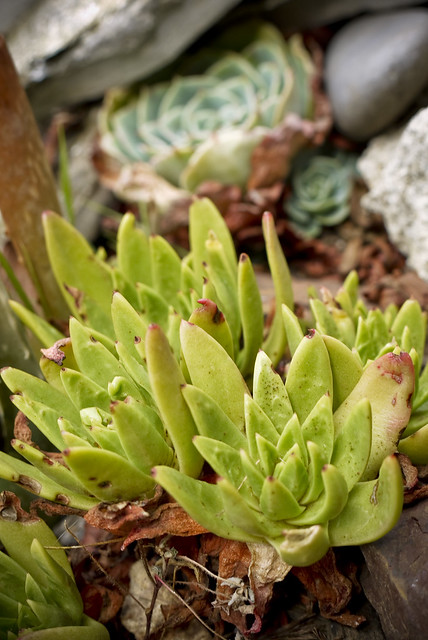 Dudleya farinosa: Bluff Lettuce