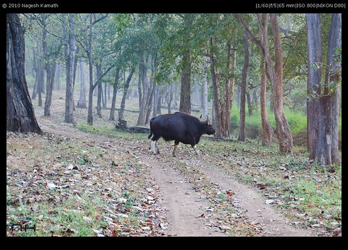 Why did the Gaur cross the road? | Kabini