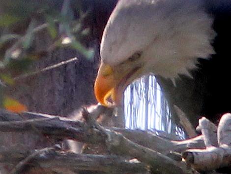 Eaglet feeding 2-20110123