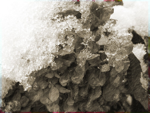 Snow covered hydrangea