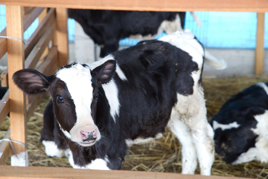 20110205_14_Raiseing cattle_03