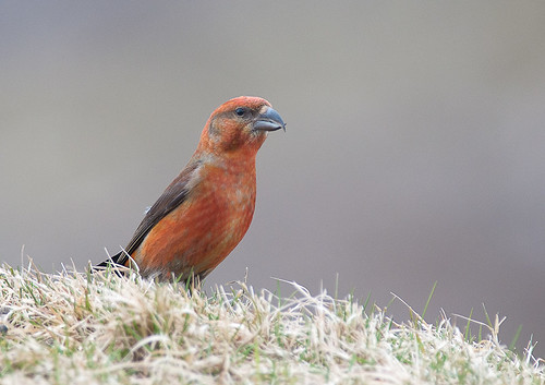 Male Crossbill No.2 by TheApertureMan