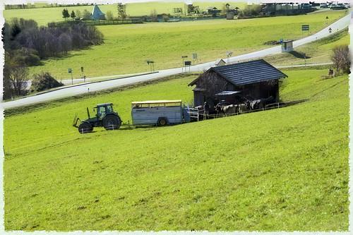 vacche montano in corriera  _7004210 come oggetto avanzato-1