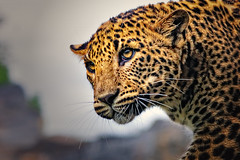 Leopardo de Ceilán (II) (Panthera pardus kotiya)