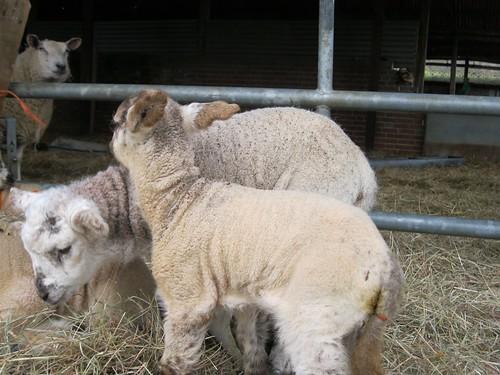 gorgeous newborn lambs