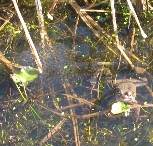 frog and spawn