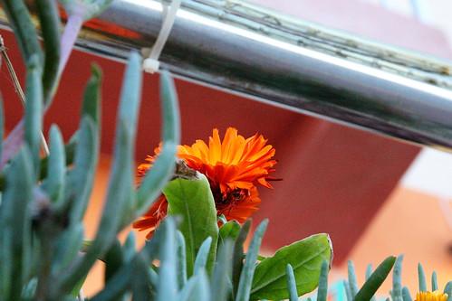 Orange-flower-too-short