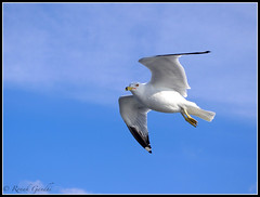 """Another seagull in flight • <a style=""""font-size:0.8em;"""" href=""""http://www.flickr.com/photos/41711332@N00/5494216655/"""" target=""""_blank"""">View on Flickr</a>"""