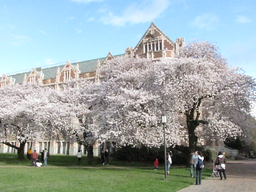 Blossoms on UW Quad