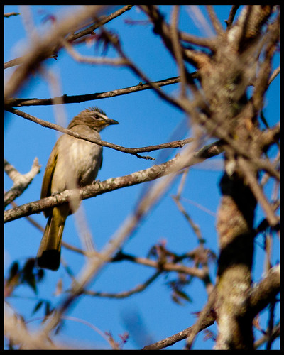 White Browed Bulbul (Embedded Images Inside)
