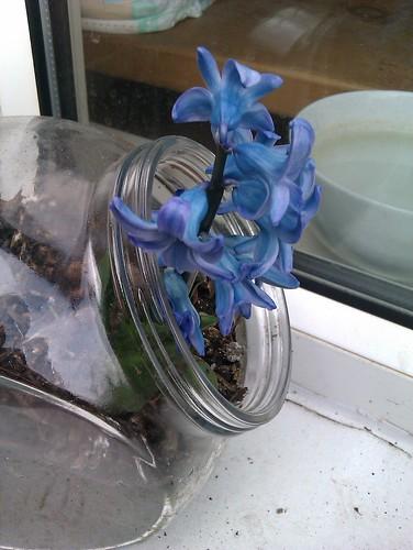 Window Ledge Chrysanthamum