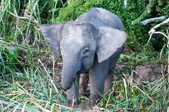 Pygmy Elephant