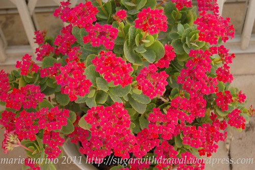 kalanchoe blossfeldiana in winter