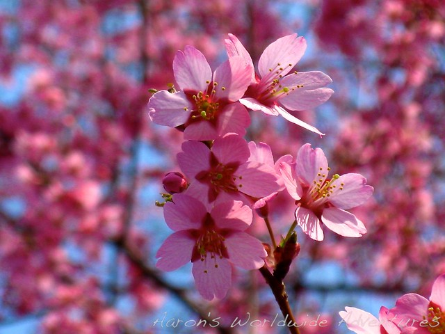 Young Cherry Blossoms