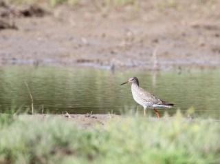 2011_05_04 PO - Common Redshank (Tringa totanus) 02 by Mike at Sea