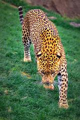 Leopardo de Ceilán (III) (Panthera pardus kotiya)