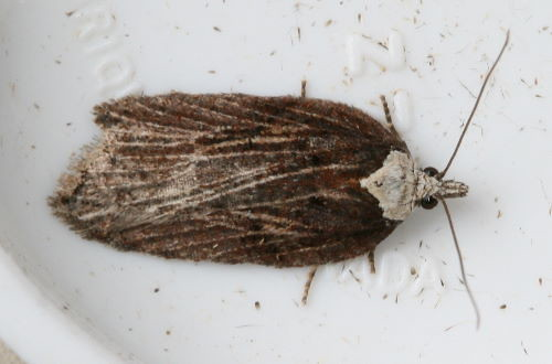 Hasty Acleris, Acleris hastiana