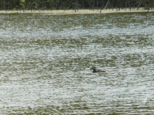 Red-necked Grebe (record shot)