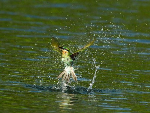 blue-tailed-bee-eater_12903_600x450