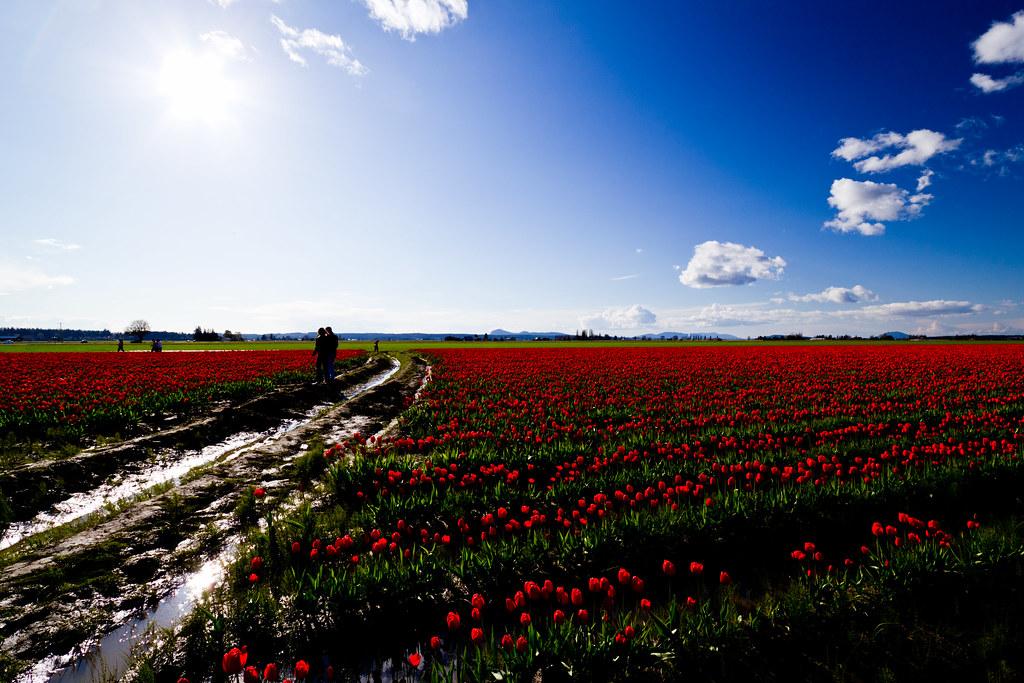 Tulip field flare
