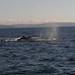 43 whale