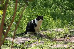 江の島めぐり―龍野ヶ丘自然の森の猫(Cat, Enoshima, 2011)