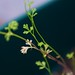 Baby coriander