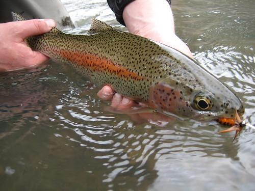 Wild Willamette River Rainbow