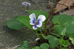 自然環境保全センターのスミレ(Violet, Nature Preservation Center, Kanagawa, Japan)